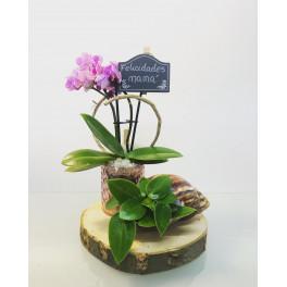 Centro Orquídea Blanca mini con pilea en caracol
