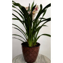 Cymbidium con maceta metal