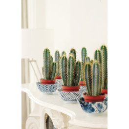 Cactus cereus